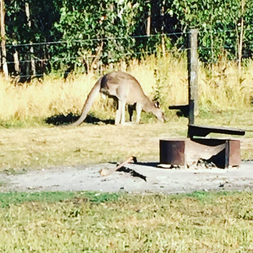 kangaroo at hammond road campground, great ocean road